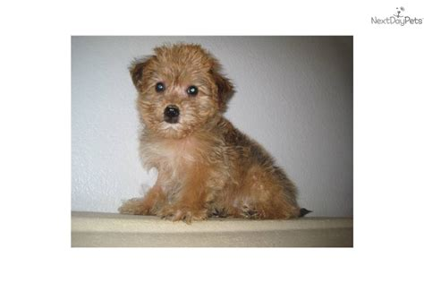 yorkie chon puppies meet adam a terrier yorkie puppy for sale for 550 yorkie chon