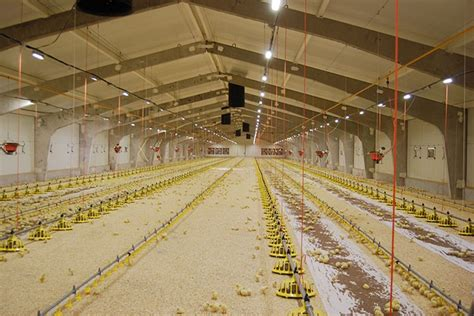 poultry farm lighting system poultry lighting lighting ideas