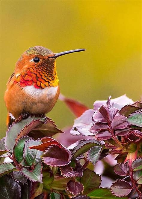 real hummingbird feathers for sale rufous your feathers greeting card for sale by dao colibri y picaflores