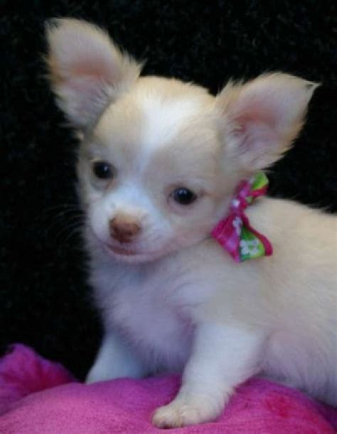 chihuahua puppies for sale in alabama chihuahua puppies for free tiny tea cup chihuahua puppies for free adoption offer