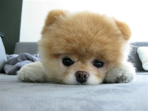 can all pomeranians look like boo blue is bleu boo the