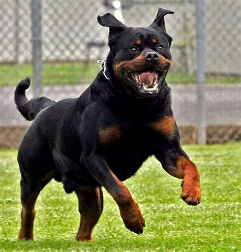 german shepherd vs rottweiler german shepherd vs rottweiler one breed wins