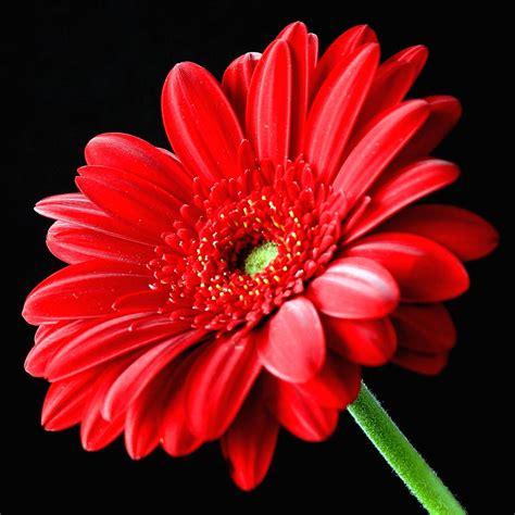Gerber Daisies by Red Gerbera Daisy Flower On Black Photograph By Lynne Dymond