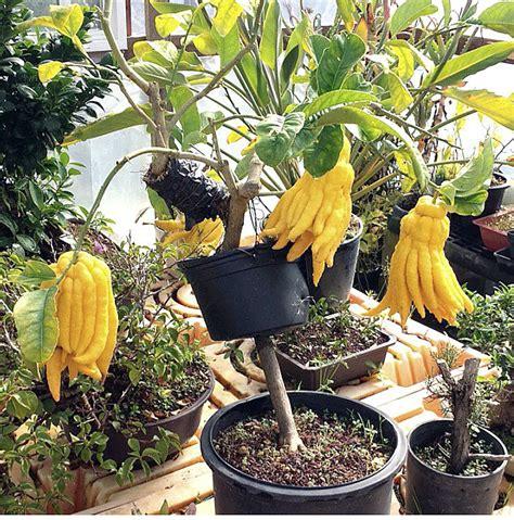 Bibit Jeruk Santang Madu Paket 10 Batang cangkok tabulot jeruk jari buddha bebeja