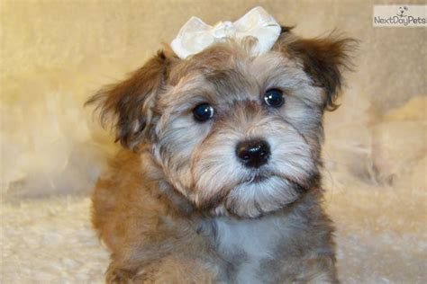 yorkie poo puppies for sale in ontario yorkie poo puppies in ontario breeds picture