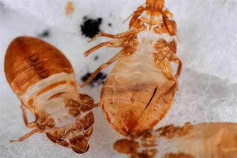 bed bug shells how to get rid of bed bugs the ultimate guide man vs pest
