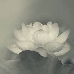 White Lotus A White Lotus Symbolizes Bodhi Sanskrit For Enlightenment
