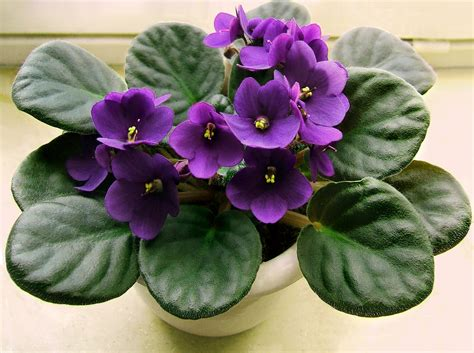 African Violet | flower african violet three hundred and sixty six