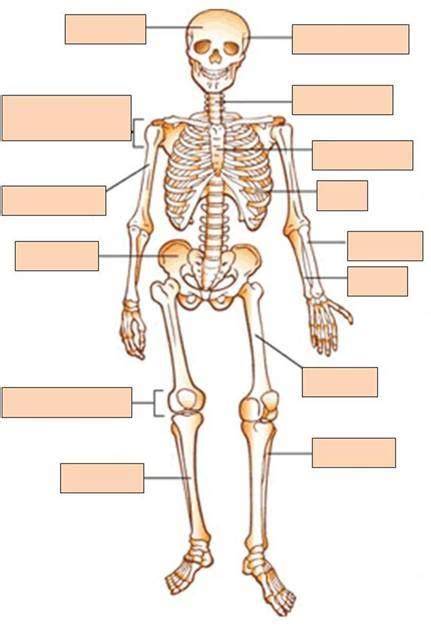 skeleton diagram quiz human anatomy skeleton quiz baldaivirtuves info