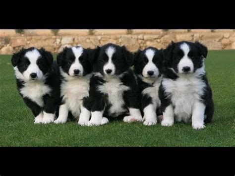 collie puppies for sale border collie puppies dogs for sale in atlanta ga
