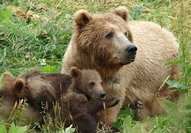Brown Bear Cubs with Mama