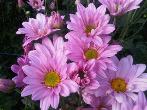 Jual Bibit Bunga Aster Dan Krisan bibit tanaman krisan aster pink daftar harga terbaru dan