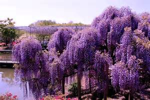 wisteria flower tunnel in japan world travel places wisteria tunnel japan
