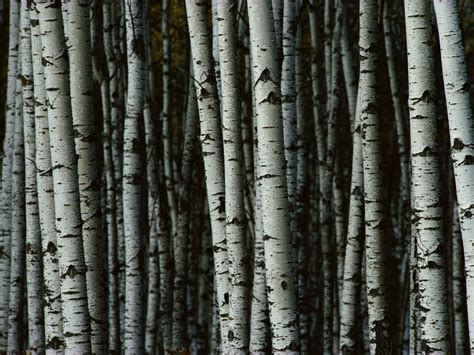 landscape pattern photography pictures of good birch