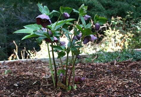 Flowers Bloom by Hellebore Pruning How To And A Cautionary Tale North