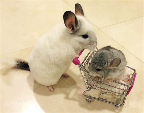 chinchilla house contact 187 house of chinchilla where pets are clean healthy friendly