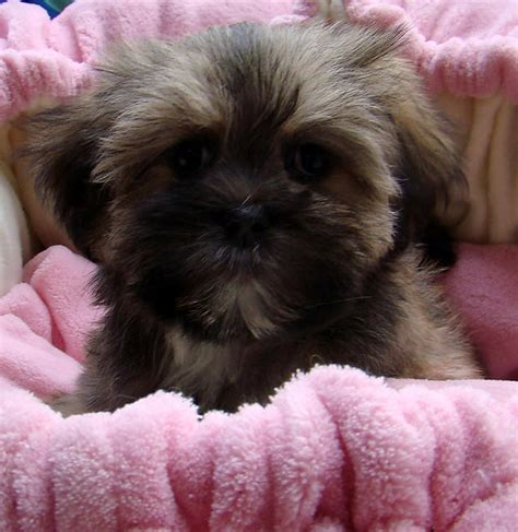 sale poodle  shih tzu  maltese female sable puppy
