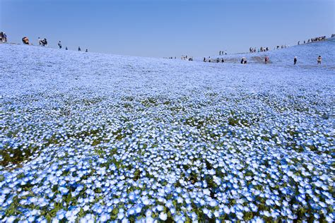 Baby Japan Blue a sea of 4 5 million baby blue eye flowers in japan s hitachi seaside park colossal