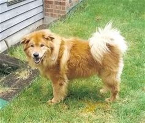 chow mixed with golden retriever spaniel rescue rescue dogs and spaniels on