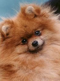 what were pomeranians bred for breed profile