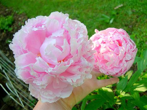 pink peonies pink peonies and other flowers from long ago new england