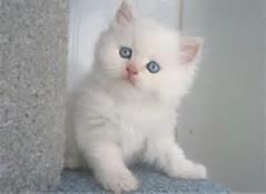 Kumpulan Foto Kucing Persia Lucu ~ Kumpulan Gambar & Foto Binatang ...