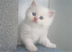 Kumpulan Foto Kucing Persia Lucu