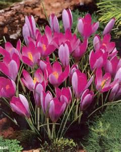 Crocus tommasinianus roseus for sale buy crocus tommasinianus roseus