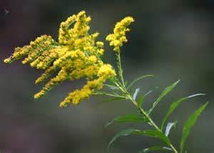goldenrod blitz saturday 27th july warren farm nonsuch lower mole countryside trust