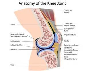 Anatomy of the knee joint quadricap tendon anterior prepatellar bursa