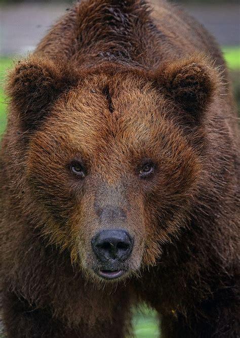 brown bear brown bear 0241137292 grizzly bear photo by alvino amor en patas animales el animal y osos