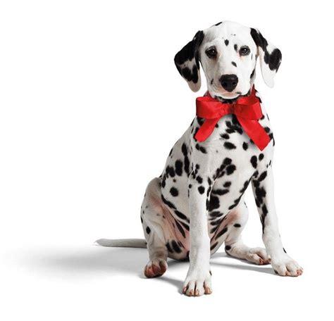 dalmatian puppies nissan micra dalmatian puppy car bow micraattitude portugal