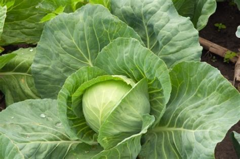 Cabbage Detox by 7 Day Cabbage Soup Detox