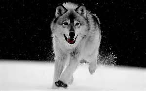 Gray wolf for pinterest