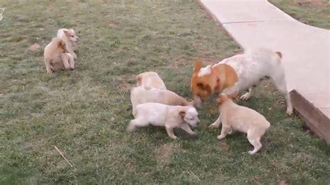 heeler puppies for sale in heeler puppies for sale funnydog tv