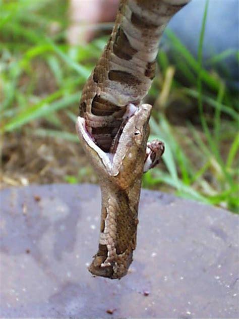 copperhead bite treknature copperhead bite photo