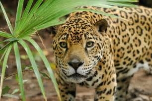 Jaguar Facts The Cheyenne Project 5 Interesting Facts About Jaguars