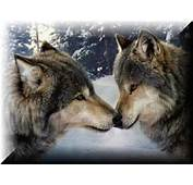 Wolves Communicate With Body Language Unlike Dogs They Rarely Bark