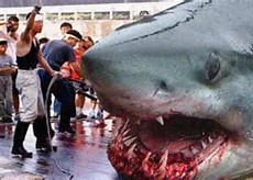 Biggest Shark Ever Megalodon