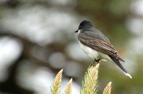 tyrannus tyrannus eastern kingbird