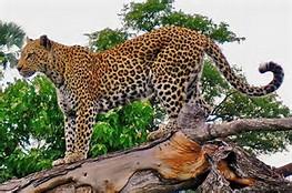 African Rainforest Animals Leopard