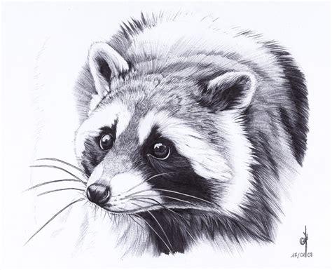 raccoon by maiwenn on deviantart