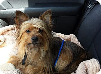 yorkie silky terrier mix cubbie adopted los angeles ca yorkie terrier silky terrier mix