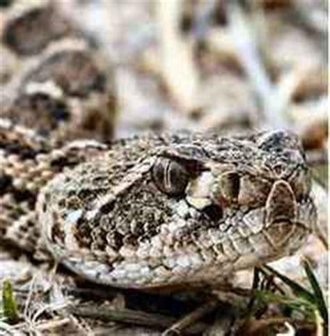 Western Diamondback Rattlesnake - Snake Facts Western Diamondback Rattlesnake Head