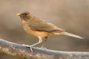 clay colored thrush clay colored thrush national bird of costa rica