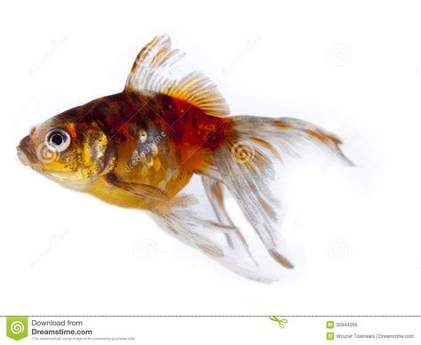 colorful goldfish colorful goldfish with fins royalty free stock photo