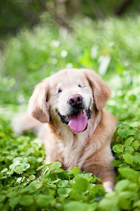 golden comforts smiley golden retriever with no eyes brings comfort to