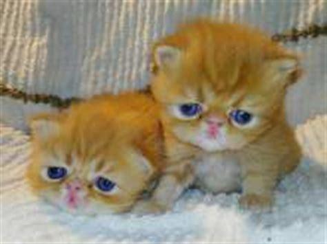 cuccioli di gatti persiani gatto persiano gatti in vendita kijiji annunci di ebay