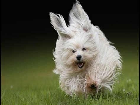facts about havanese havanese breed havanese top 10 most amazing facts about the havanese breed