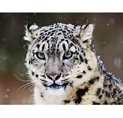 Big Cats  Snow Leopard